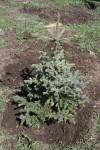 Первые хвойные ботанического сада (2006 год)