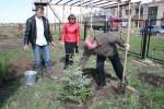 Проректор ОГУ С.Н. Летута сажает голубую ель (2006 год)