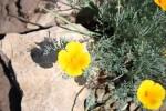 Eschscholzia californica Cham19.07.2010