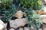 Juniperus horisontalis 7.07.2010