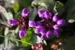 Черноголовка крупноцветковая
