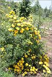 Роза вонючая