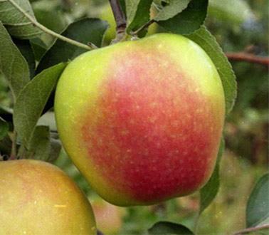 Яблоко северный синап описание